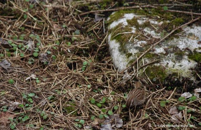 p-song sparrow 3