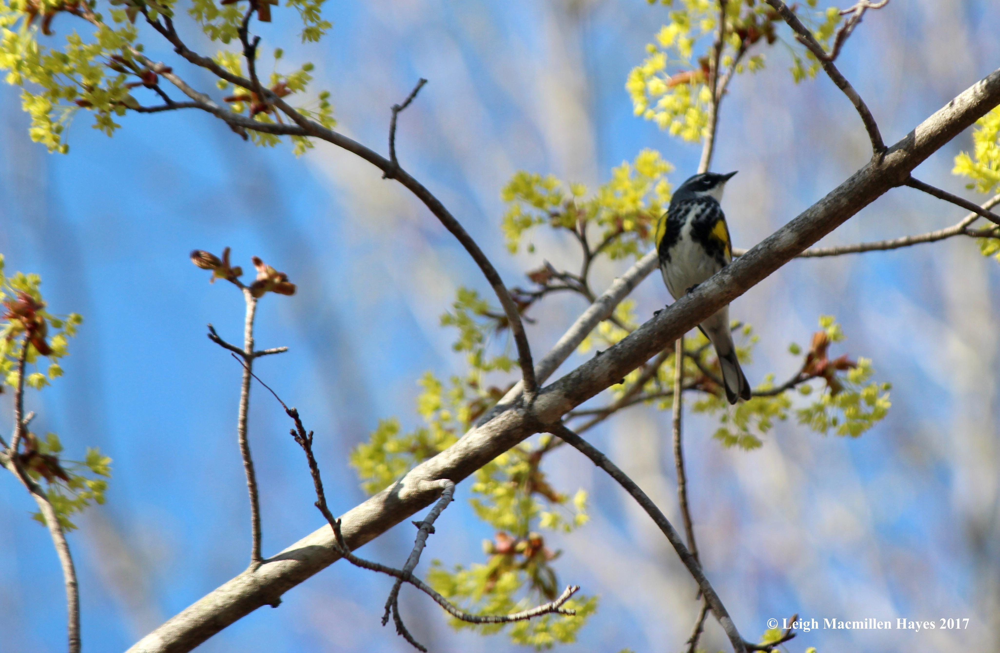p-yellow-rumped warbler