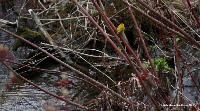 p-yellow warbler