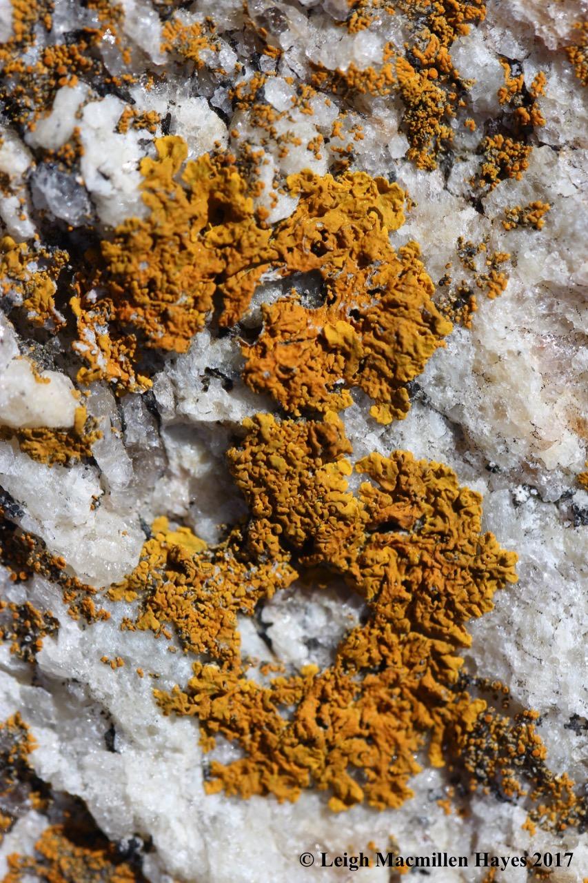 p14-sunburst lichen