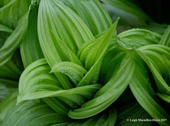 s-false hellebore patterns
