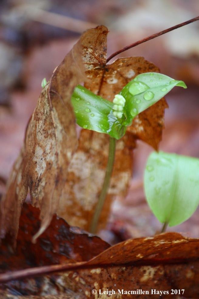 v-Canada mayflower 2