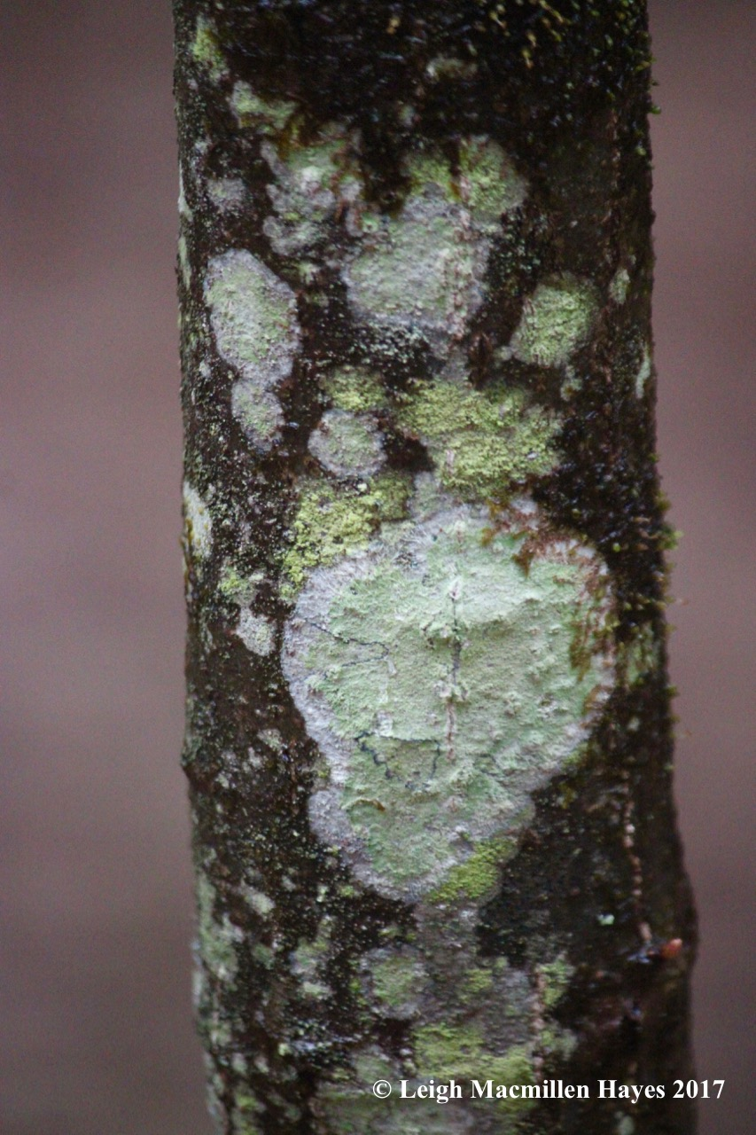v-maple dust lichen