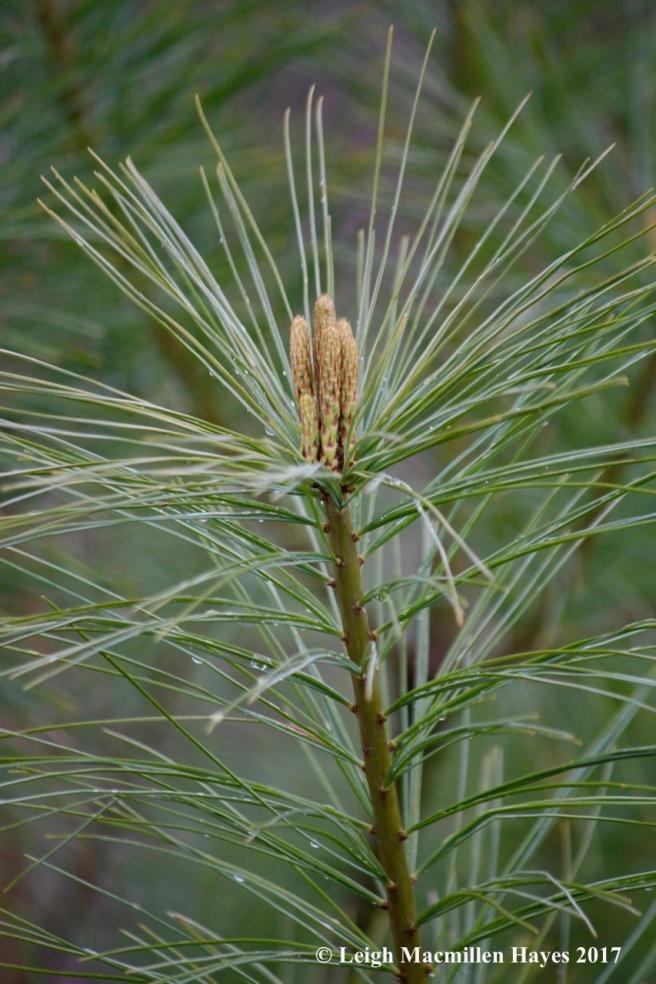 v-white pine
