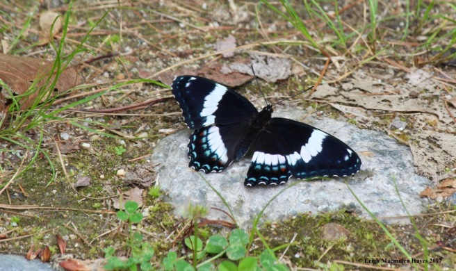 b-black swallowtail