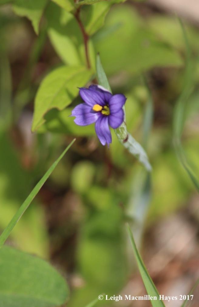b-blue-eyed grass