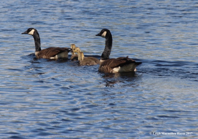 b-Canada geese