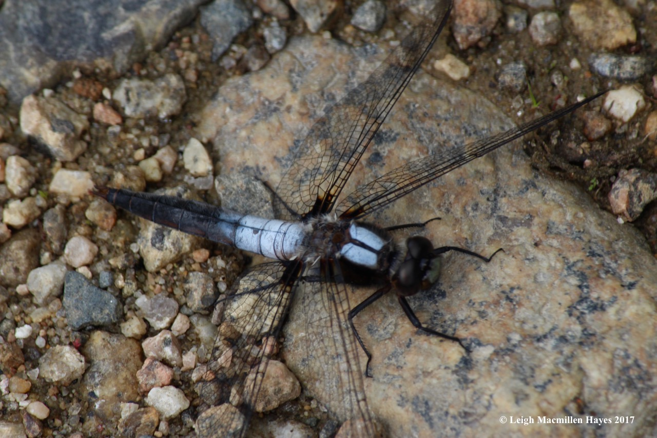 b-chalk-fronted corporal 1