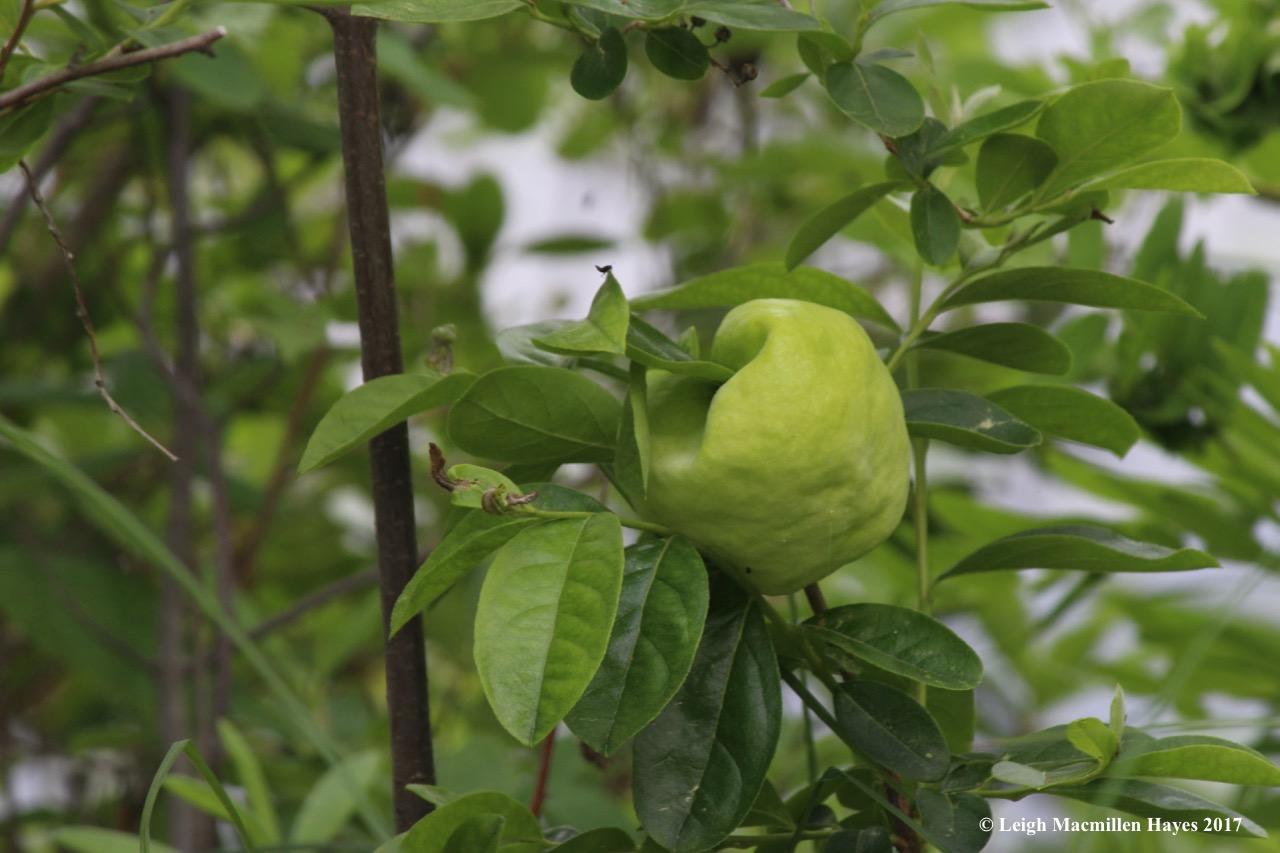 b-maleberry gall?1
