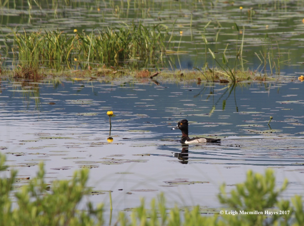 b-ring-necked duck