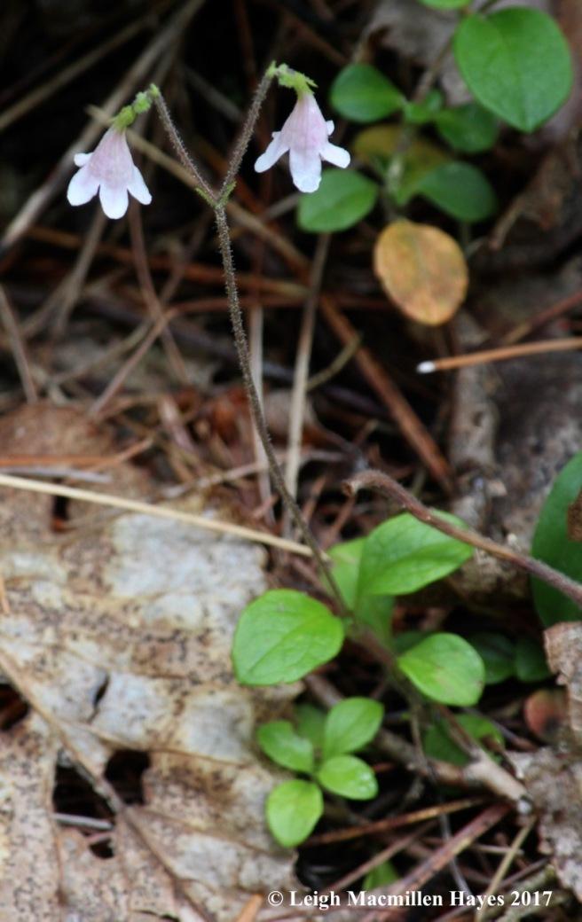 c-twin flower