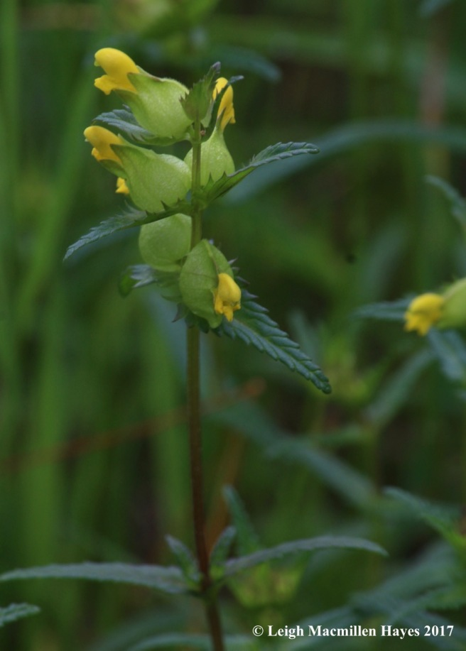 c-yellow rattle 1