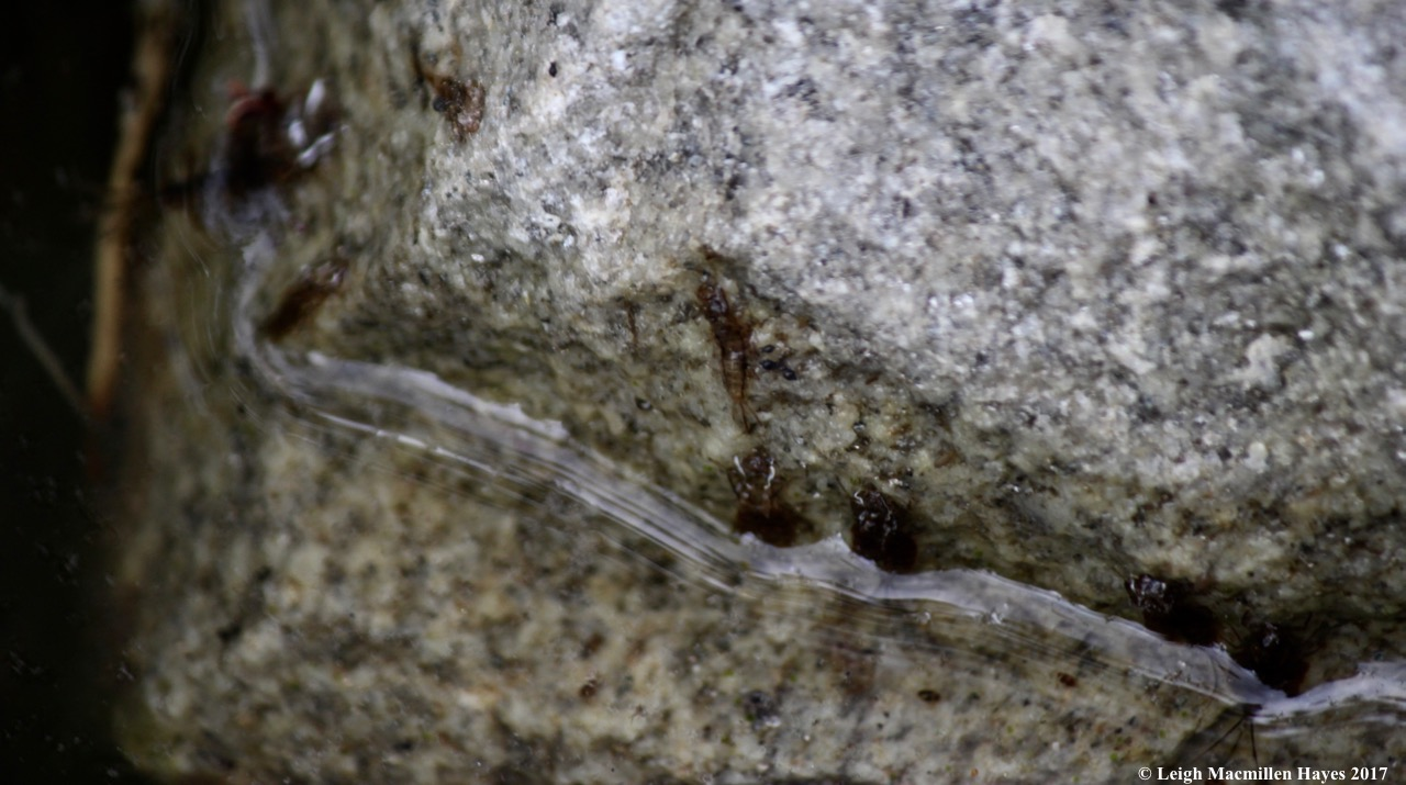 h-aquatic larvae on rock