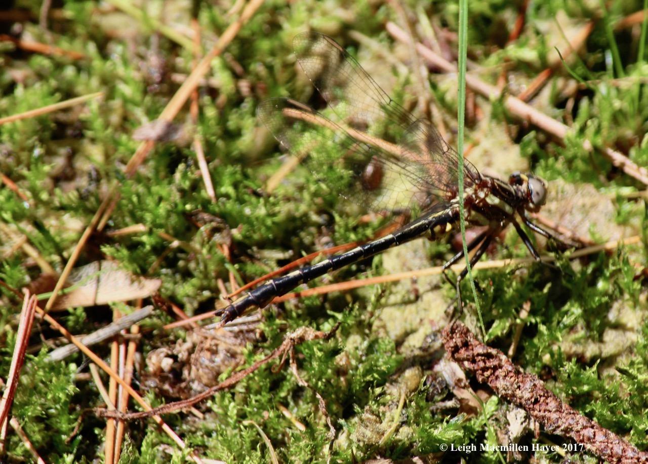 h-black-shouldered spinyleg