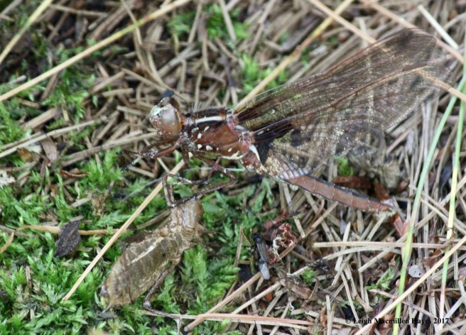 h-chalk-fronted corporal 1