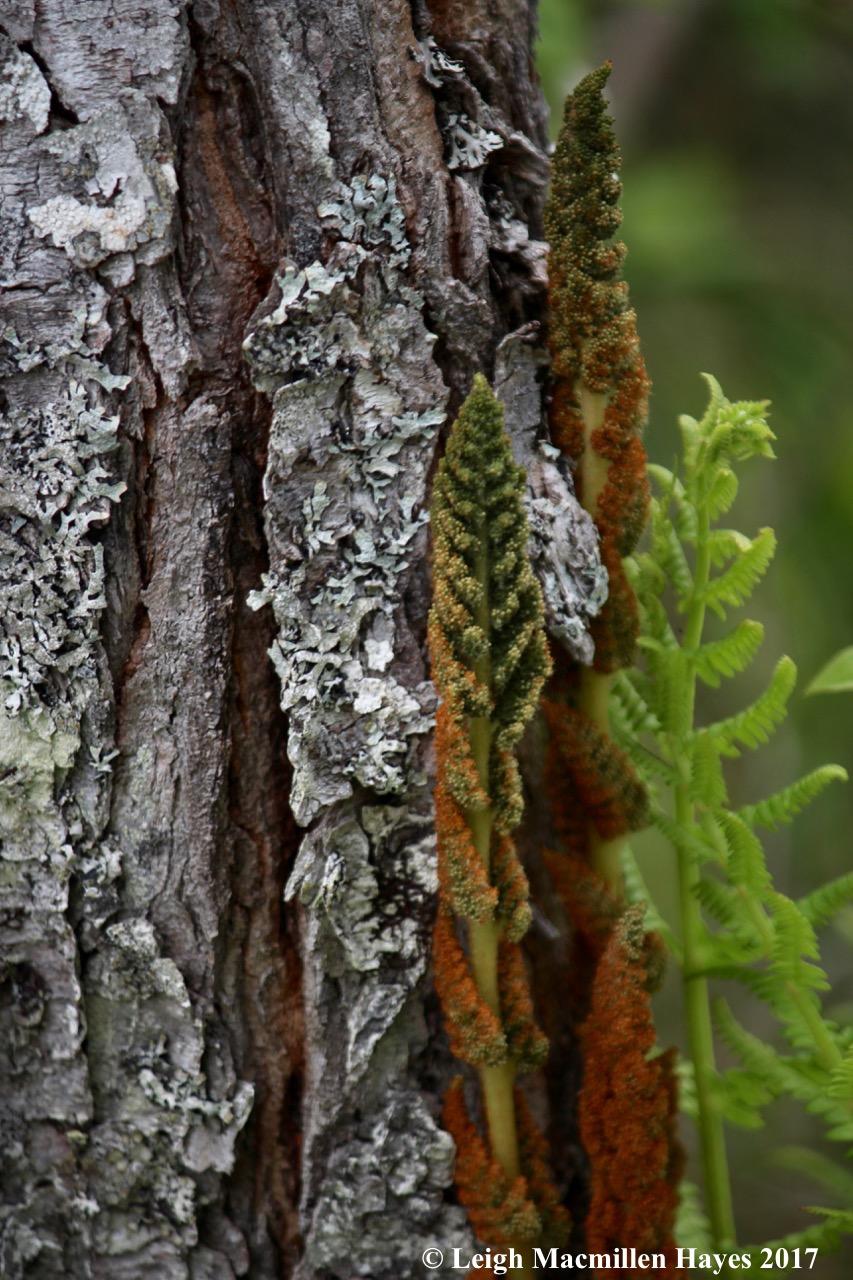 h-cinnamon fern 2