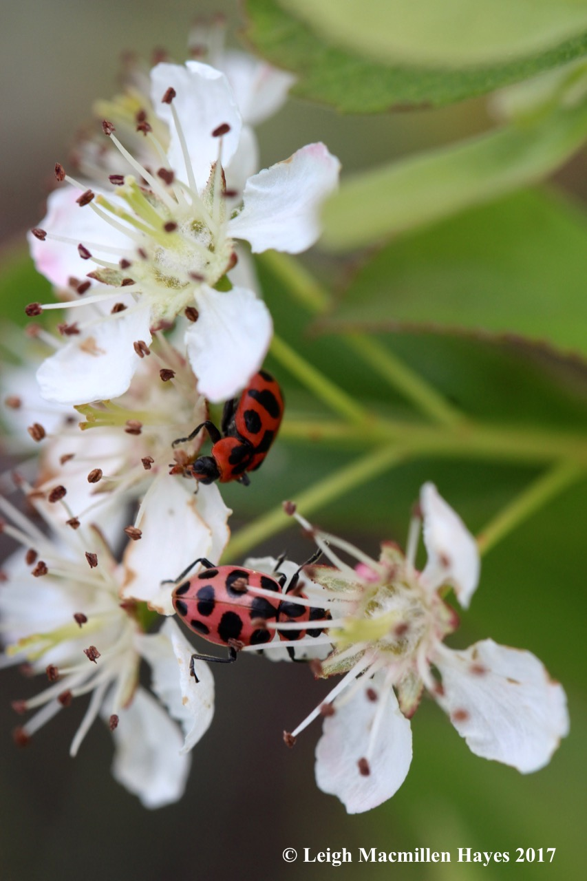 h-lady beetles 1