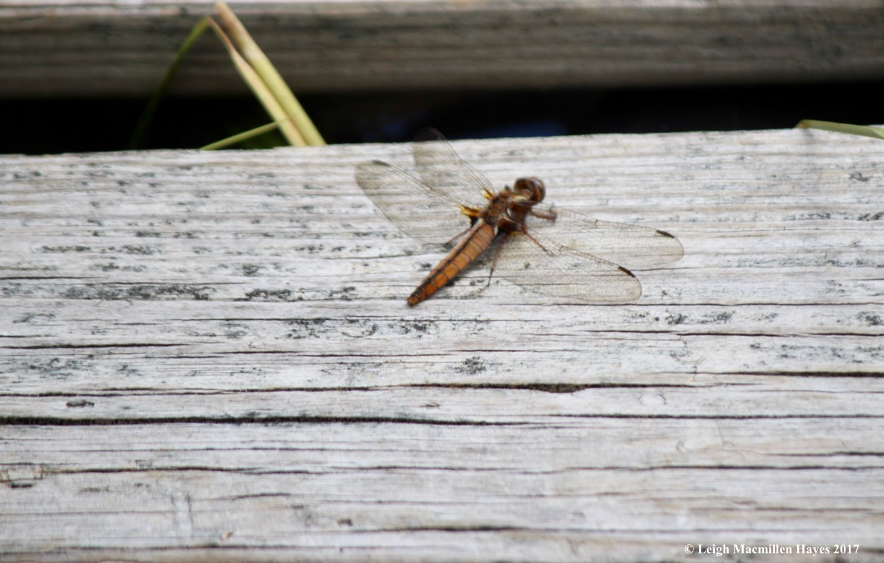 h-wandering glider dragonfly