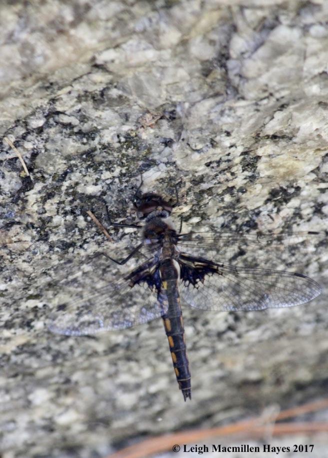 h-widow skimmer