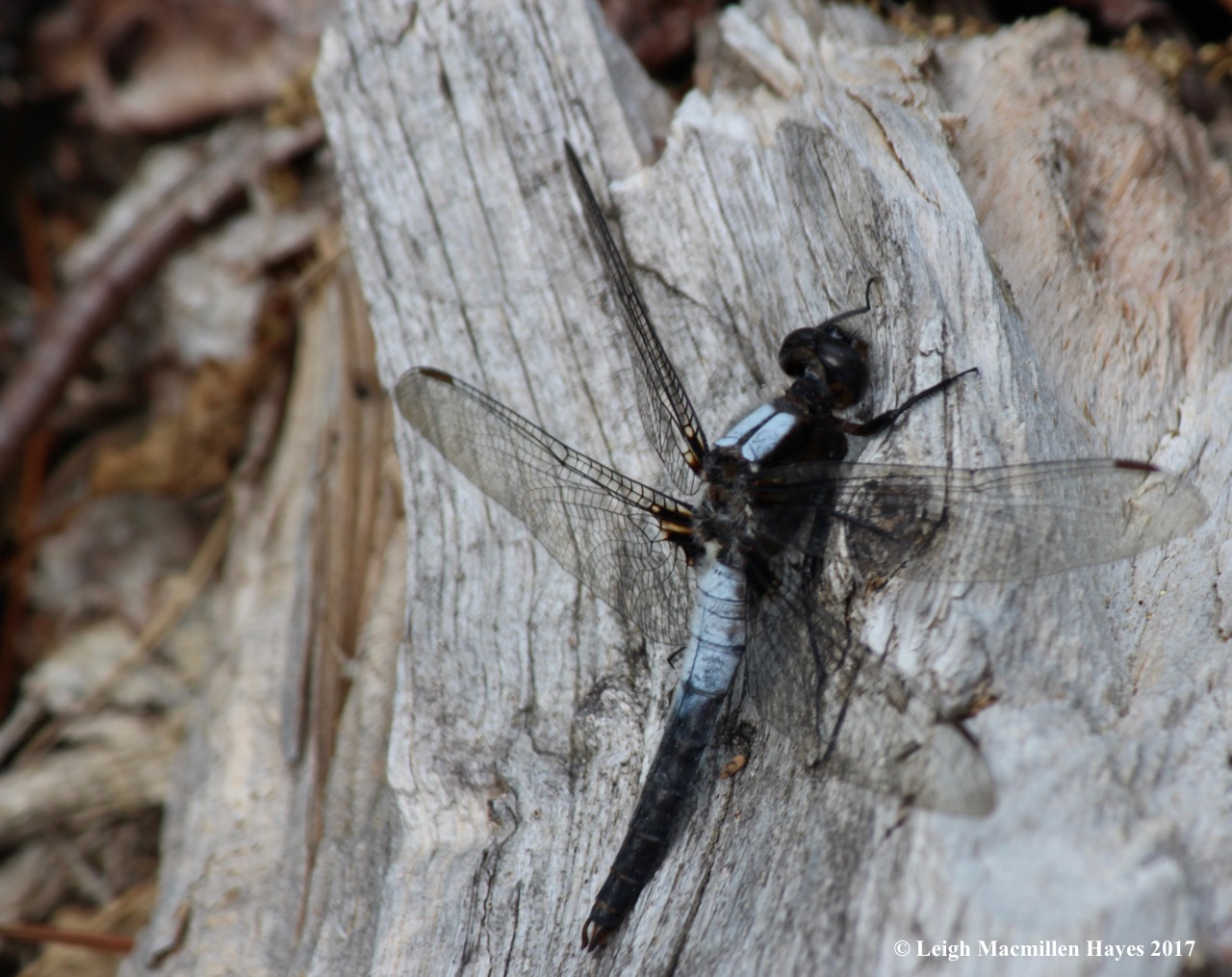 l-chalk-fronted corporal