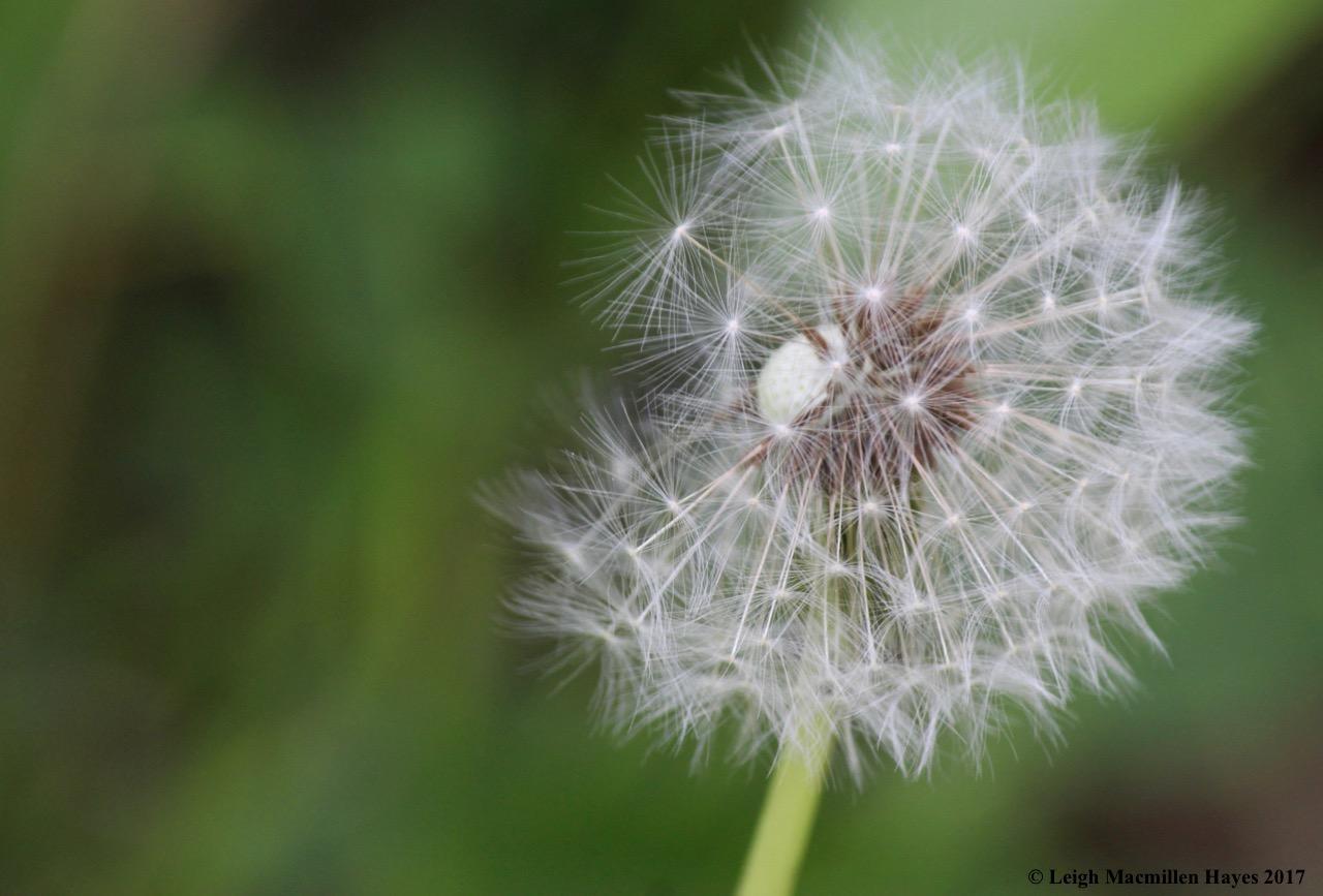 l-dandelion seed head