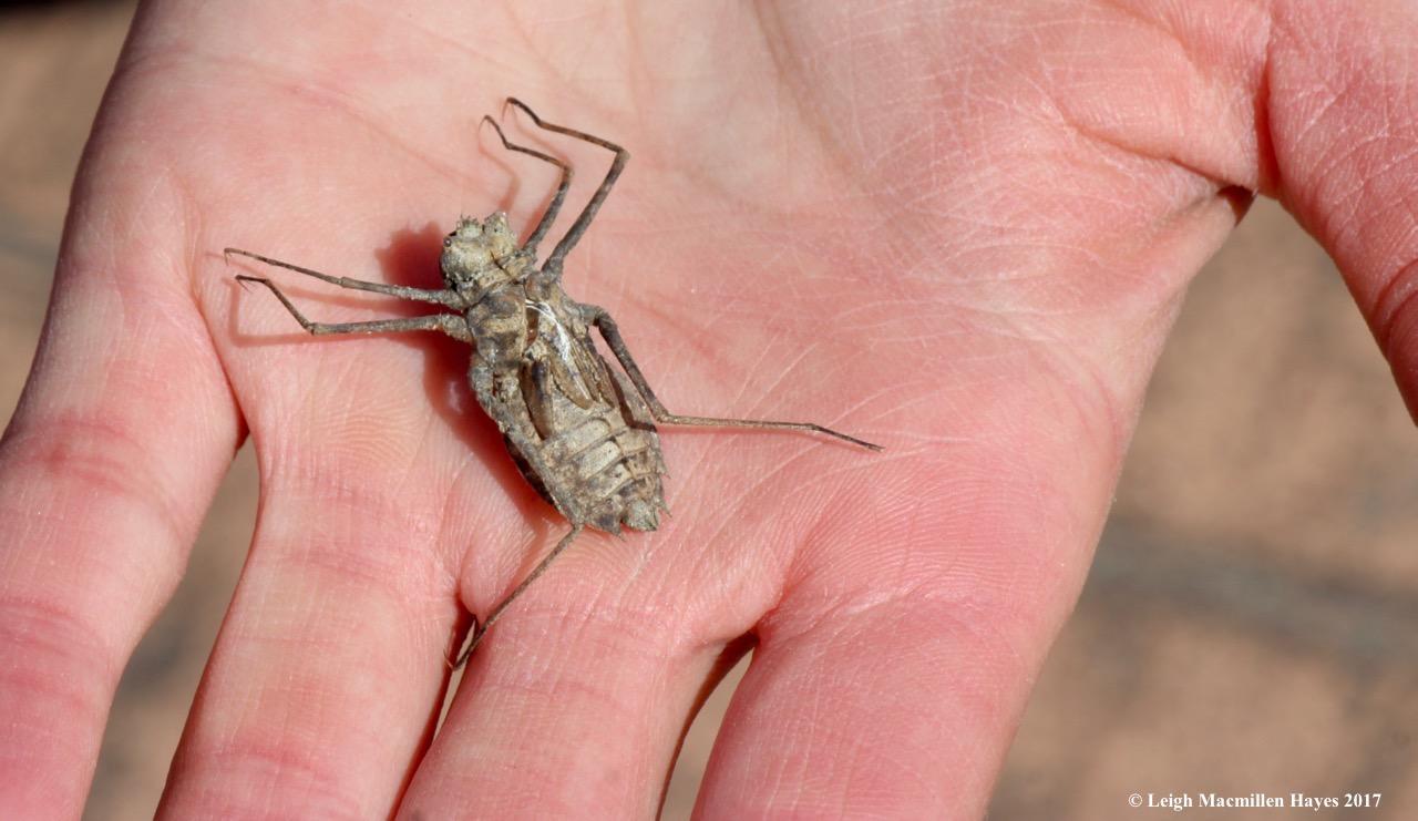 l-dragonfly exoskeleton