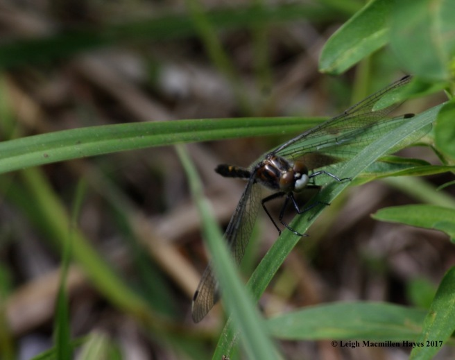 l-eye to eye with dragonfly--white-face?