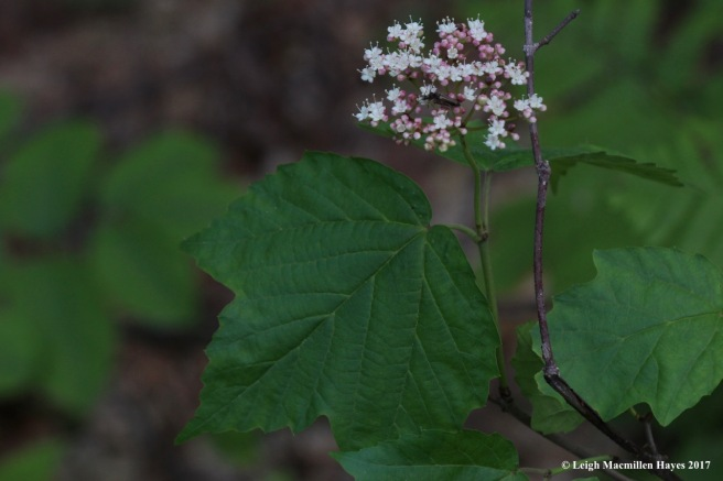 l-maple-leaved viburnum
