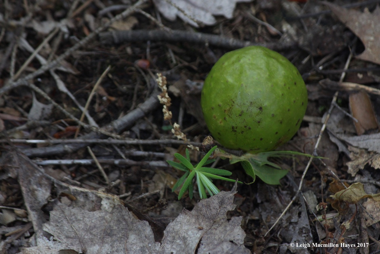l-oak apple gall