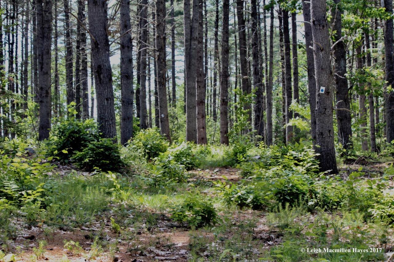l-pine grove 1