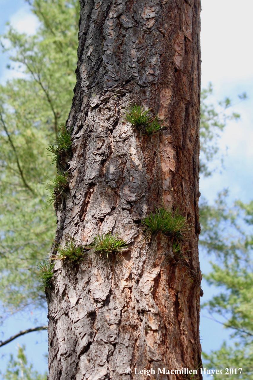 l-pitch pine