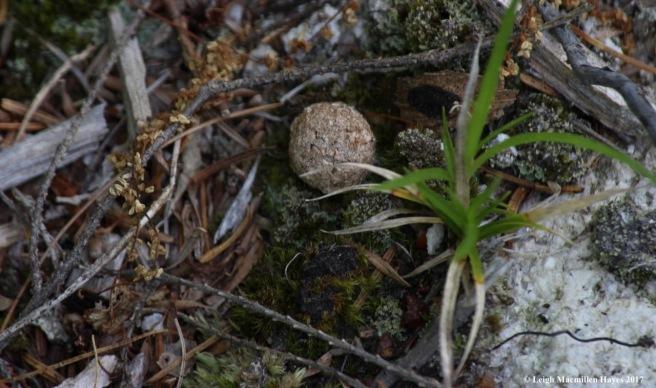 l-snowshoe hare scat 2