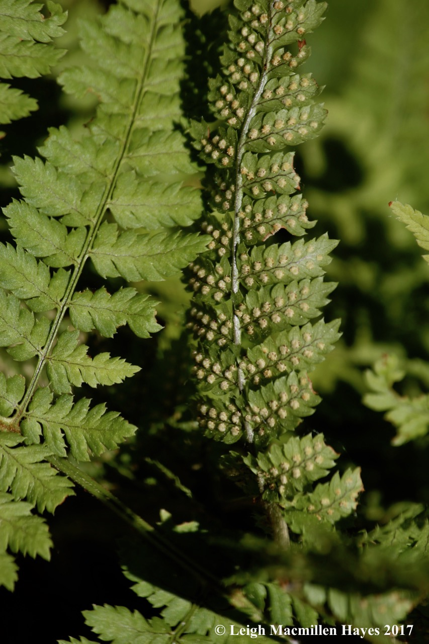 l-wood fern with sori