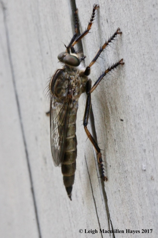 m-robber fly side view