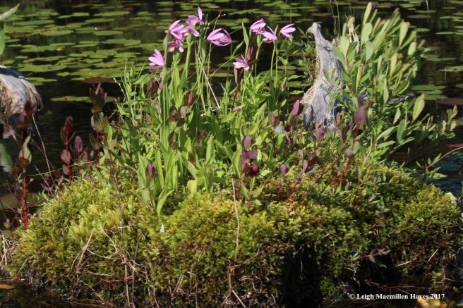 m-rose pogonia driftwood garden 1