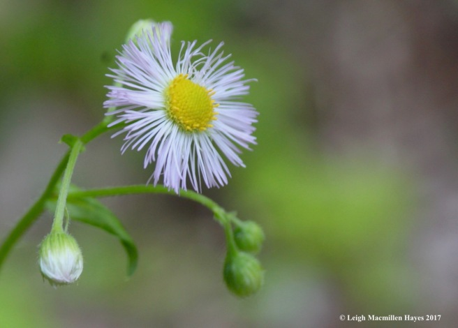 n-common fleabane 2