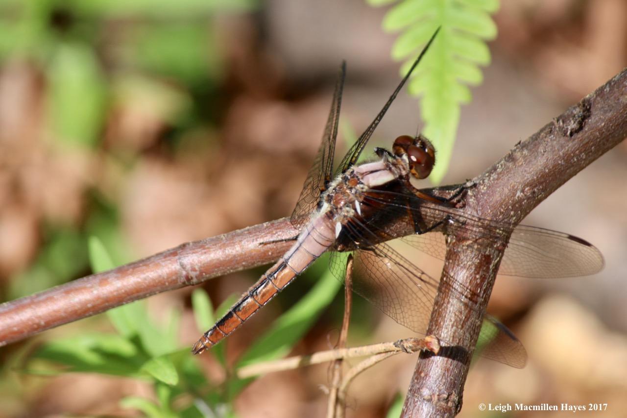 n-lady corporal dragonfly