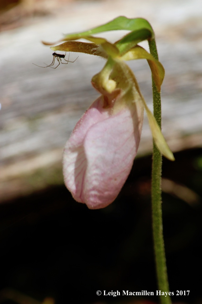 n-lady's slipper spider