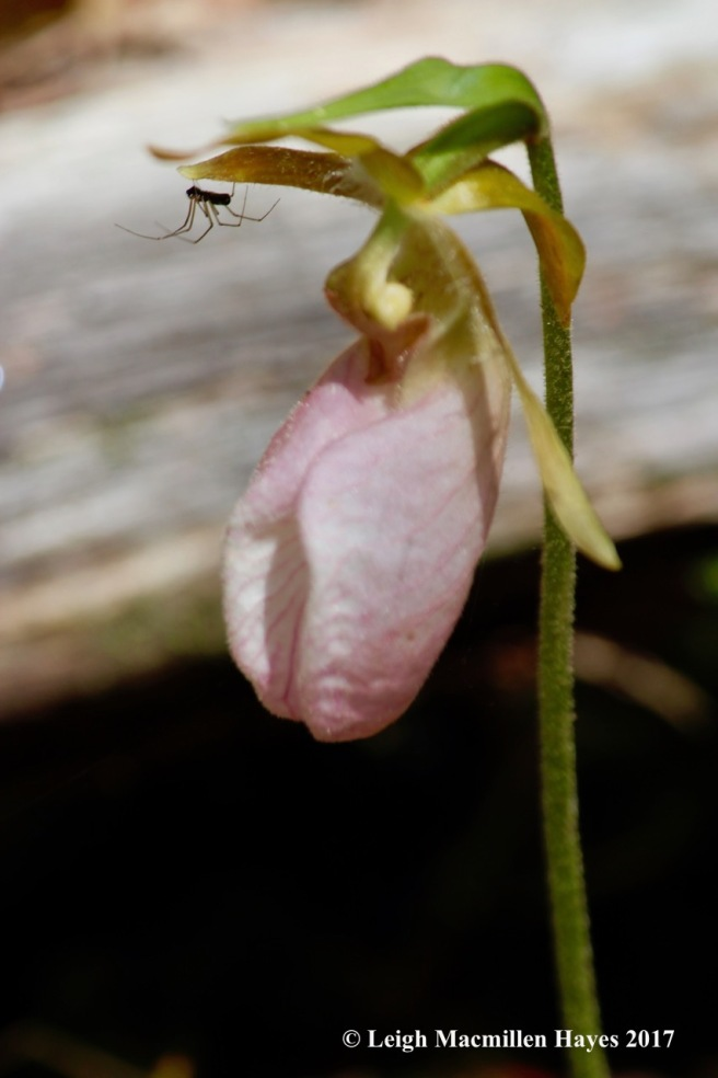 n-lady's slipper spider