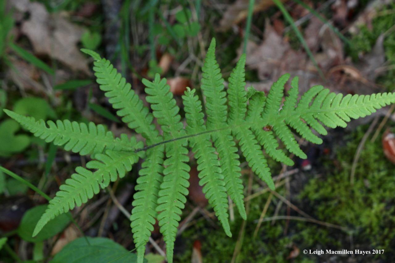 n-narrow beech fern