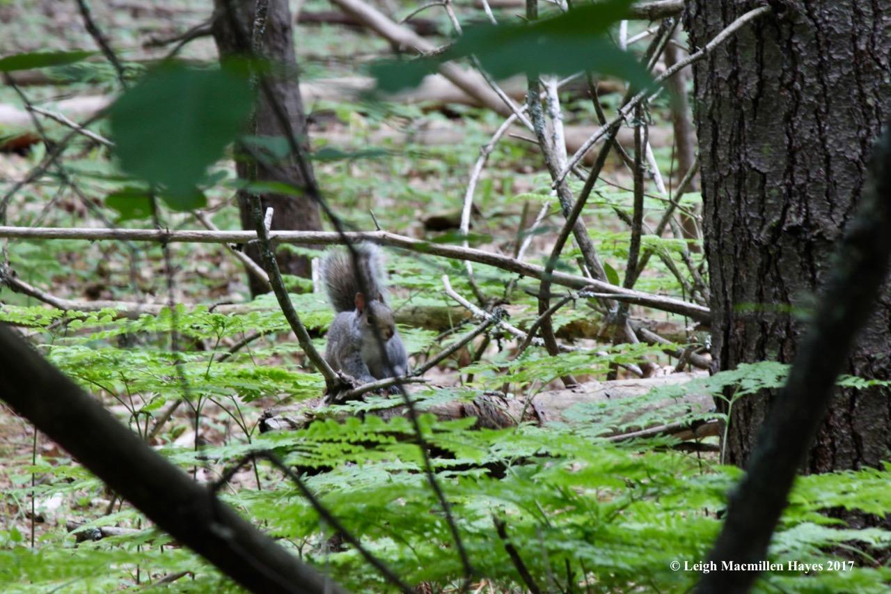 p-gray squirrel