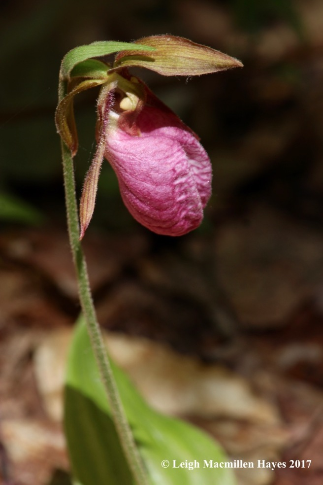 p-lady's slipper 2