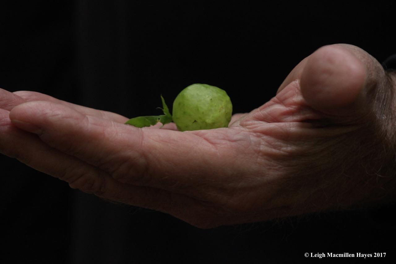 p-oak apple gall 1