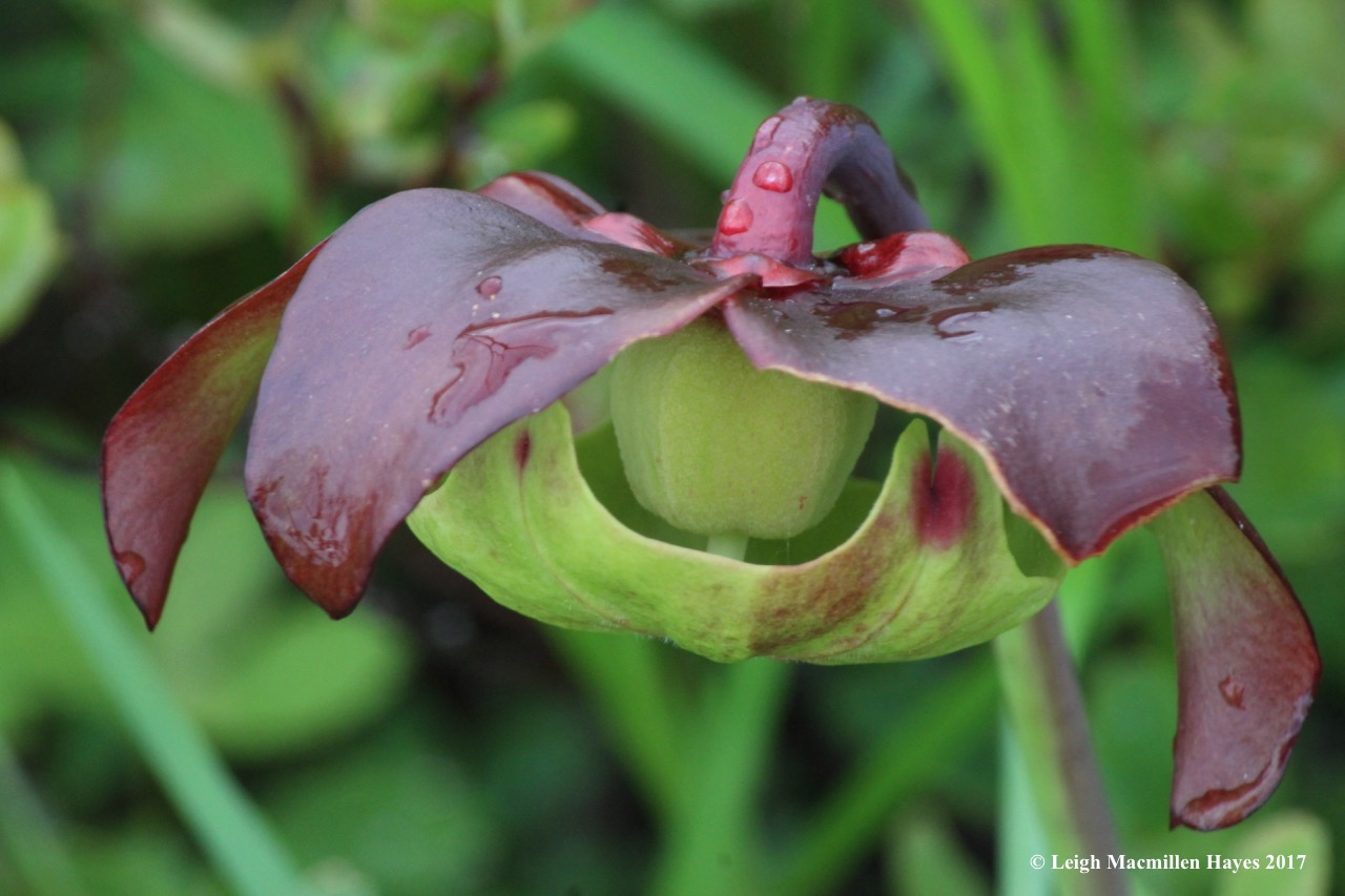 p-pitcher flower 1