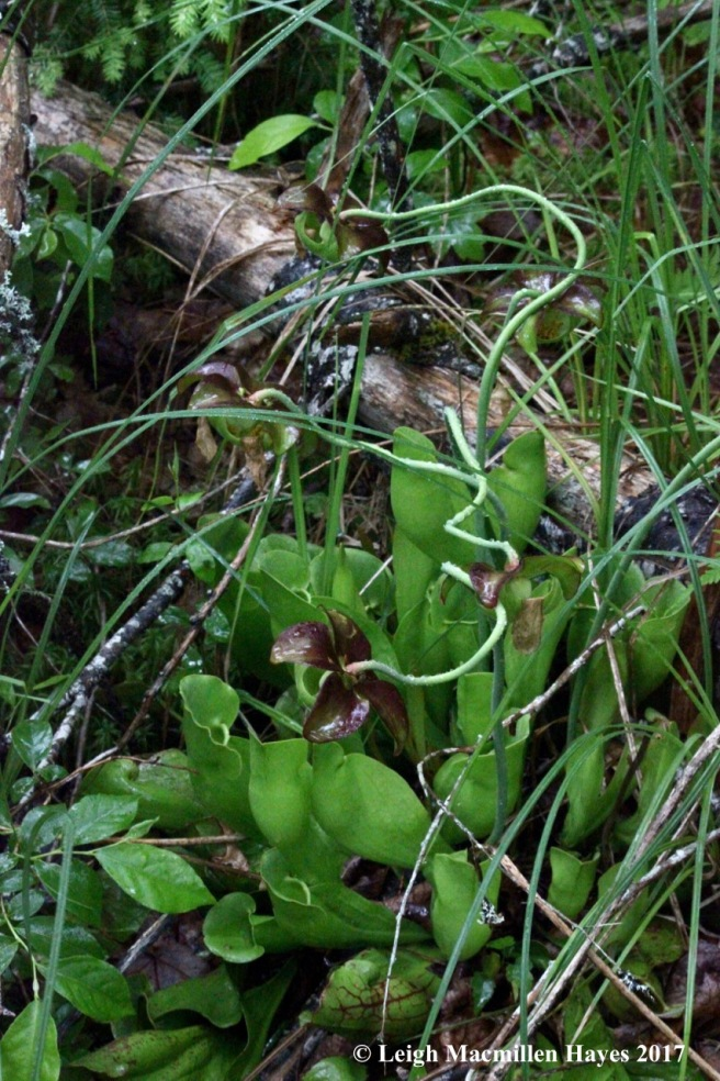 p-pitcher plant