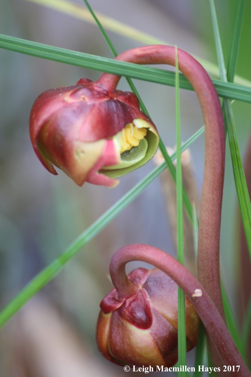 p-pitcher plants flowering