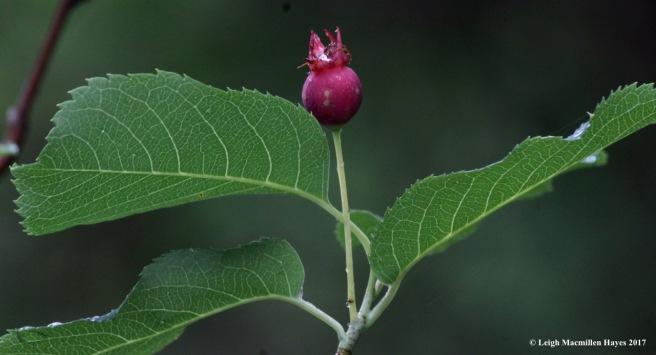 p-serviceberry 2