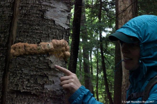p-slime mold on birch