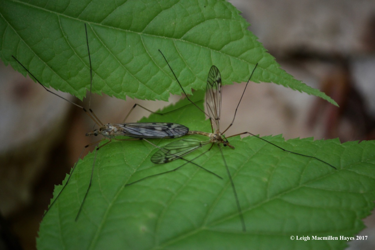 r-cannoddling craneflies 2