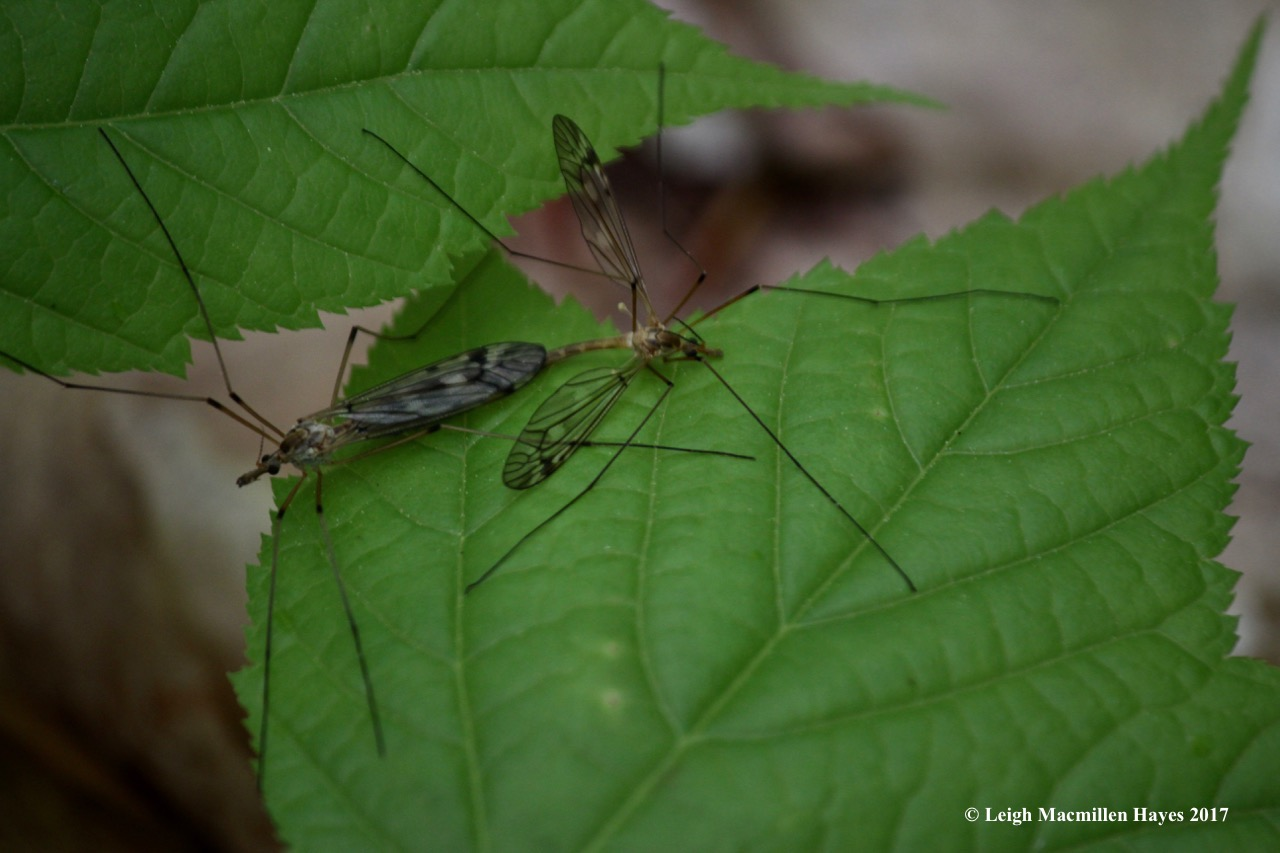 r-cannoddling craneflies